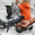 What is Google Pigeon and how will it impact local businesses?